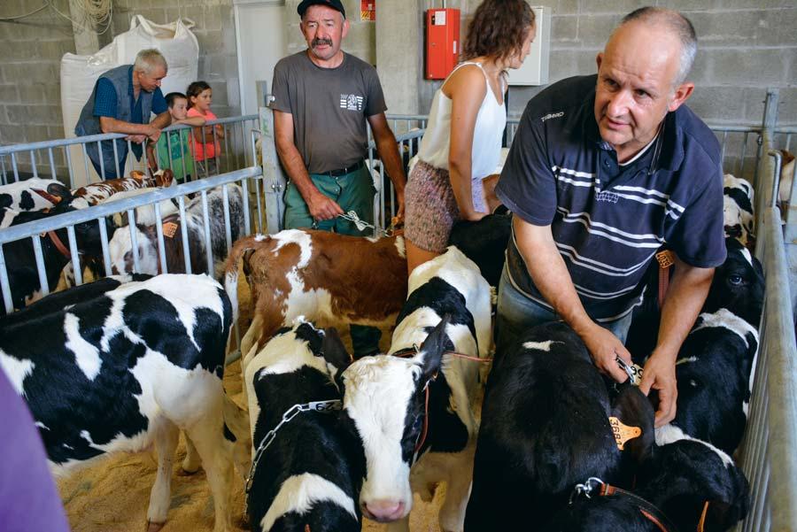 La préparation des veaux avant la vente.