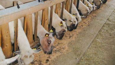 Photo of Diminuer la pénibilité : retours d'expériences d'éleveurs ovins