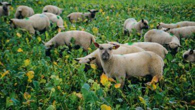 Photo of Du colza à pâturer pour les agneaux