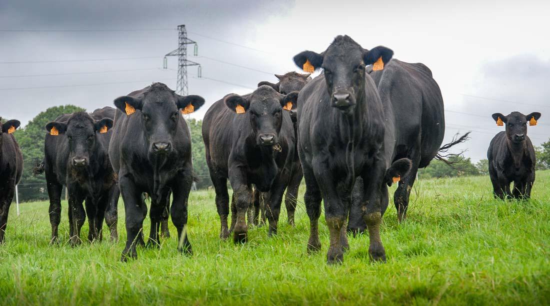 Le troupeau est issu d'embryons achetés en Argentine.