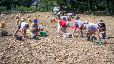 Photo of Des pommes de terre pour le Burkina
