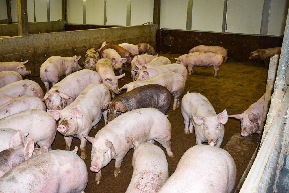 porc-bien-etre-sciure