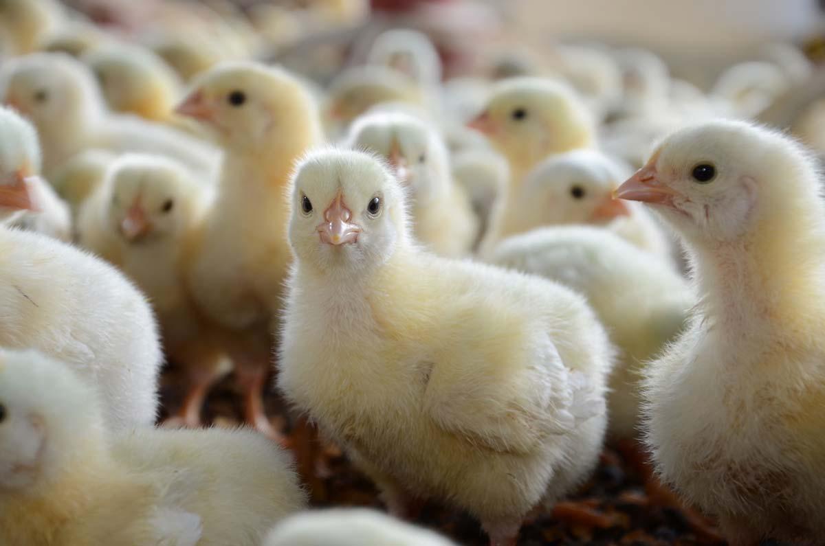 poulet-Chick-brazil_06