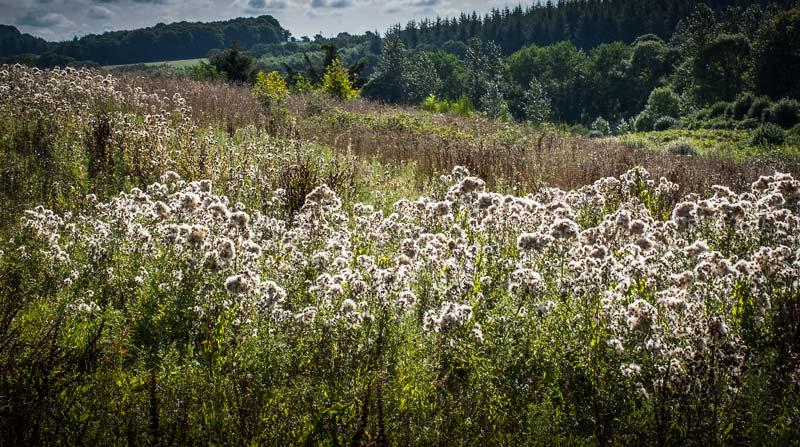 Un arrêté du 31 juillet 2000 classe le chardon des champs dans la liste des organismes nuisibles aux végétaux. Il rend leur lutte obligatoire à certaines périodes de l'année.