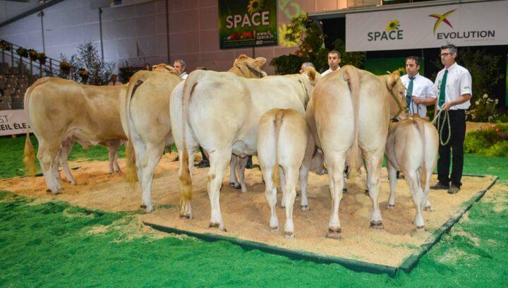 Trois élevages bretons participaient à la très belle section des vaches suitées.