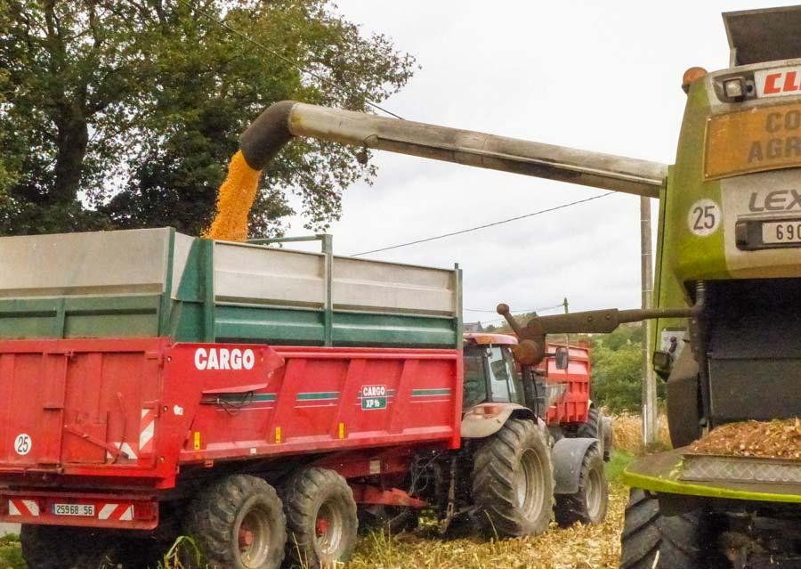 Cette année, le maïs est assez hétérogène en taux d'humidité. S'il est trop humide, il est conseillé d'attendre pour éviter les pertes par broyage à la récolte.