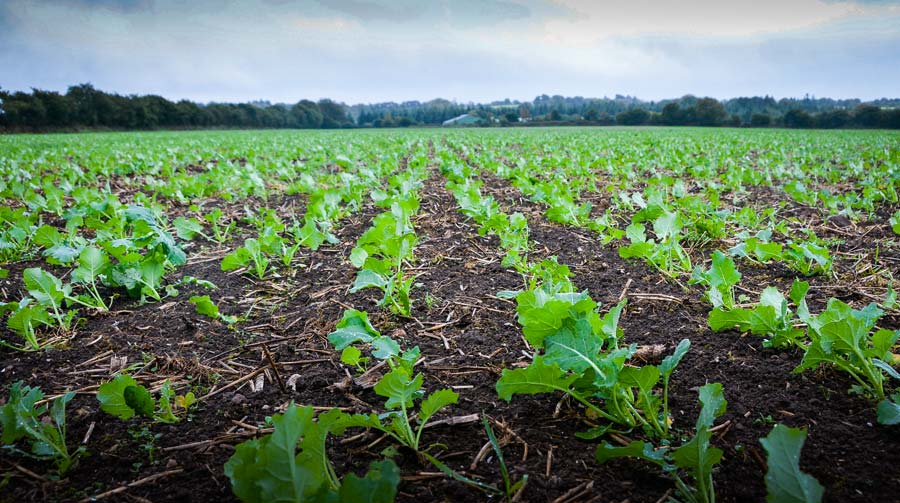 Les semis précoces (avant le 20 août), qui ont bénéficié de conditions favorables à la levée, se trouvent au stade 4-6 feuilles.
