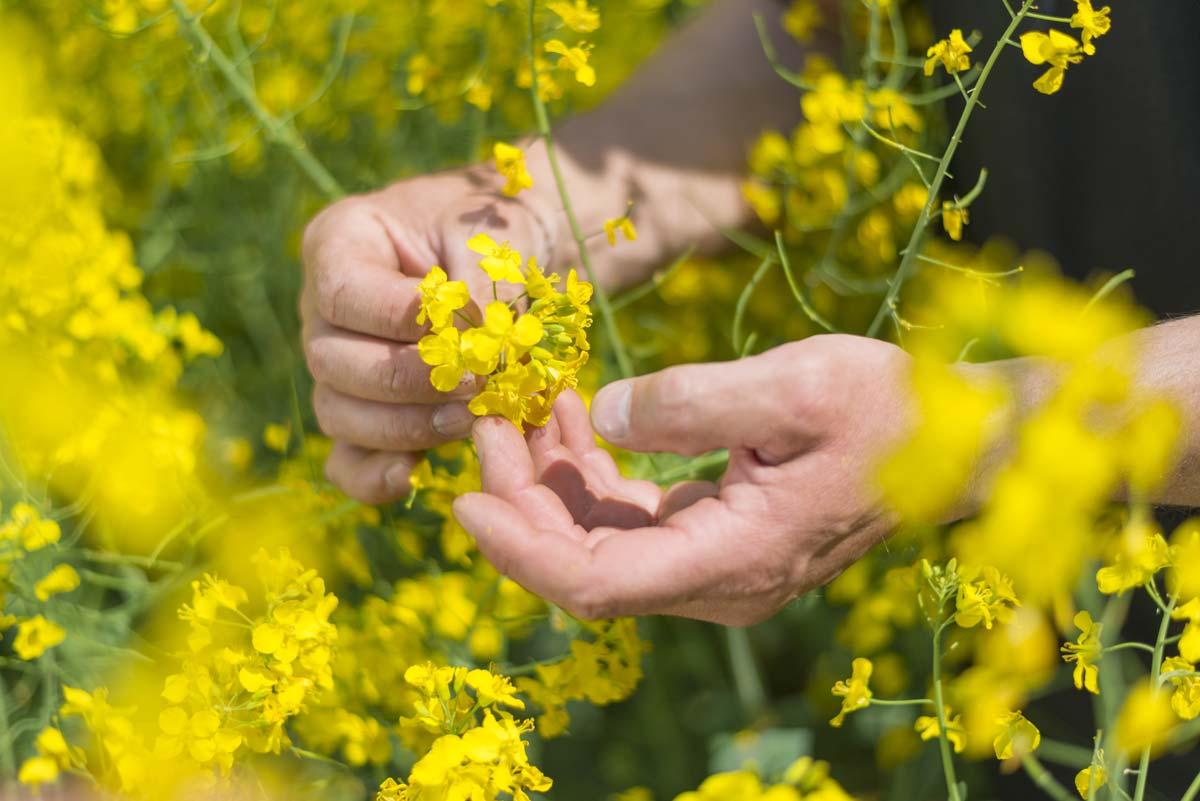 Les actifs acquis par BASF comprennent un portefeuille intéressant de semences de colza, principalement en Amérique du Nord et en Europe.