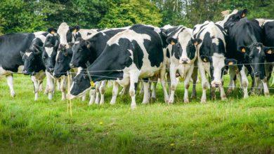 Photo of Y a-t-il du courant avec les vaches?