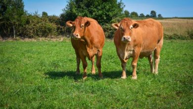 Photo of Des éleveurs de bovins viande dans la Creuse