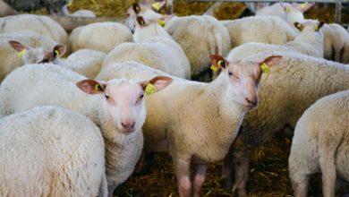 Photo of Pénibilité en élevage ovin : Priorité au bâtiment fonctionnel