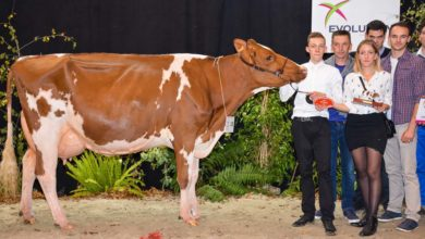 Photo of Pie Rouge : Joliecœur et jolie vache