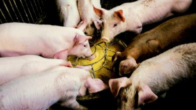 Photo of Viande porcine : la balance commerciale déficitaire en janvier