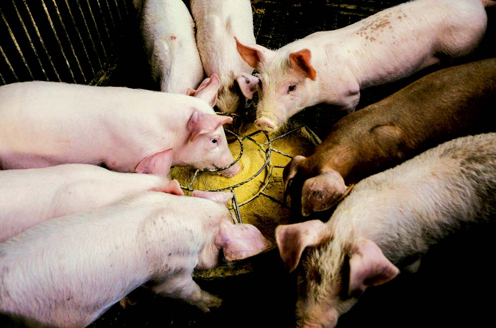 pig-porc-cochon