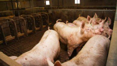 Photo of Réexamen des élevages porcins et volailles