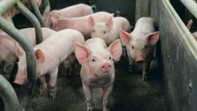 Photo of Production porcine: Après l'embellie, quel scénario?