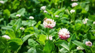 Photo of Sainfoin, lotier, trèfle hybride : Les petites légumineuses prairiales à ne pas oublier