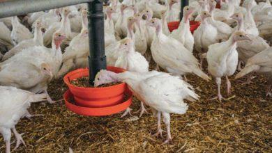 Photo of Aviculture : Incorporer ses céréales à l'aliment