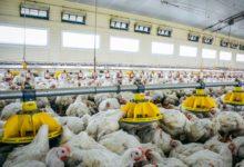 Photo of Volaille de chair, le coût du bien-être animal pour les éleveurs
