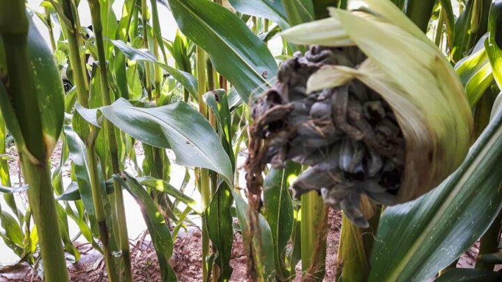 On a remarqué cette année la présence de charbon commun. Ce champignon n'altère pas ou très peu le rendement, mais peut nuire à l'appétence du fourrage.