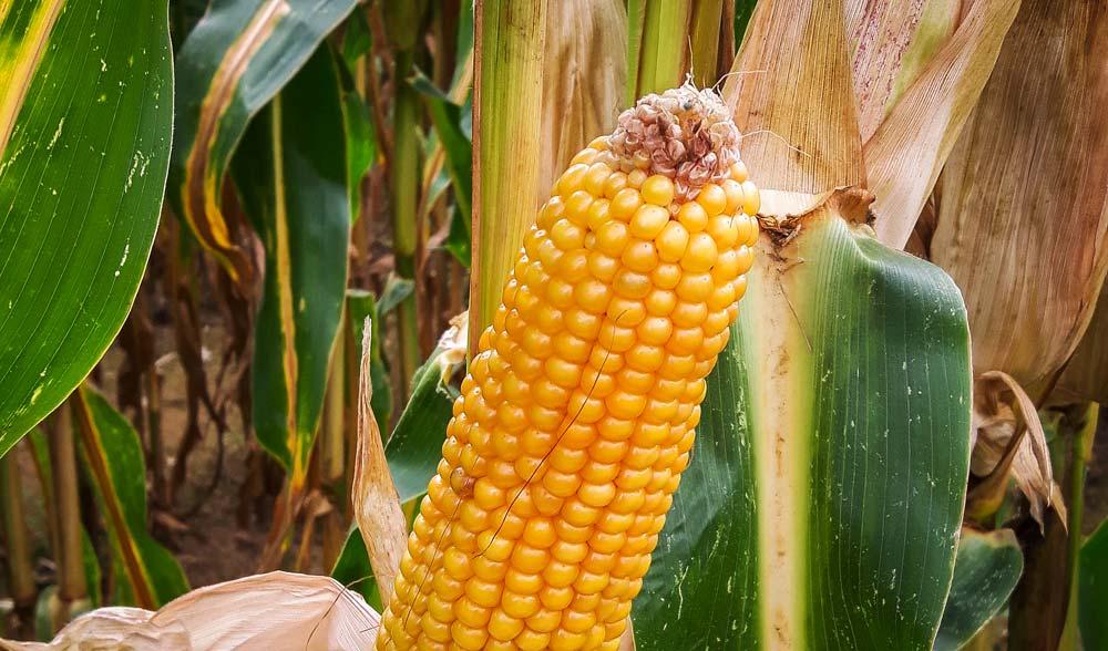Les conditions climatiques de mai / juin ont été très favorables à une bonne fécondation des maïs fourrages et grains.
