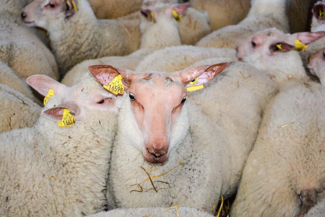 ovin-agneaux