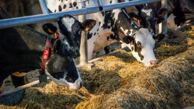 Photo of Savoir interpréter les signaux distillés par la vache