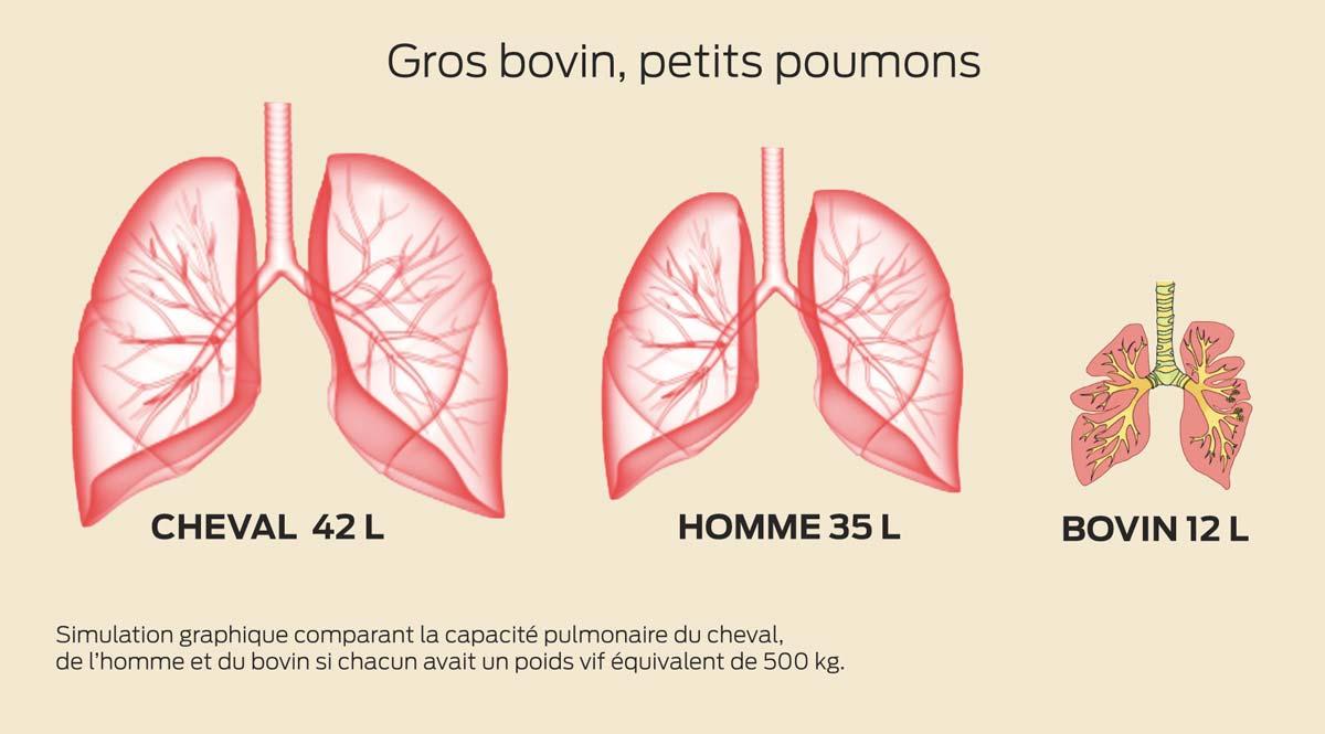poumon-bovin