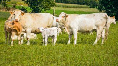 Photo of Baisse du montant de l'aide aux bovins allaitants