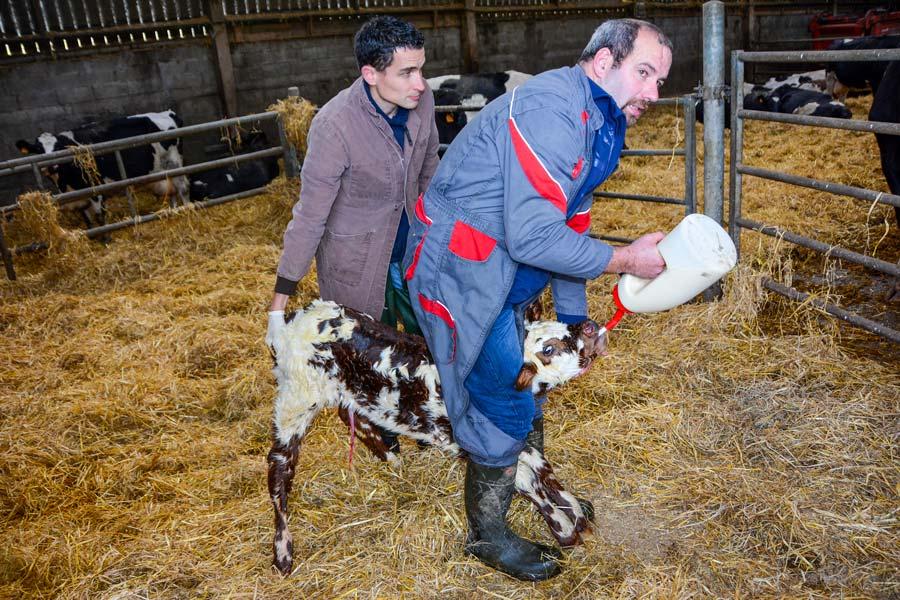 La période sèche doit permettre à la vache de synthétiser un colostrum de qualité. Ensuite, le drenchage est l'assurance que le nouveau-né a bien avalé sa dose d'énergie et d'anticorps maternels. « Ici, le veau reçoit 4 L de colostrum», explique Vincent Carrer, installé en Gaec à Plouvorn (29).