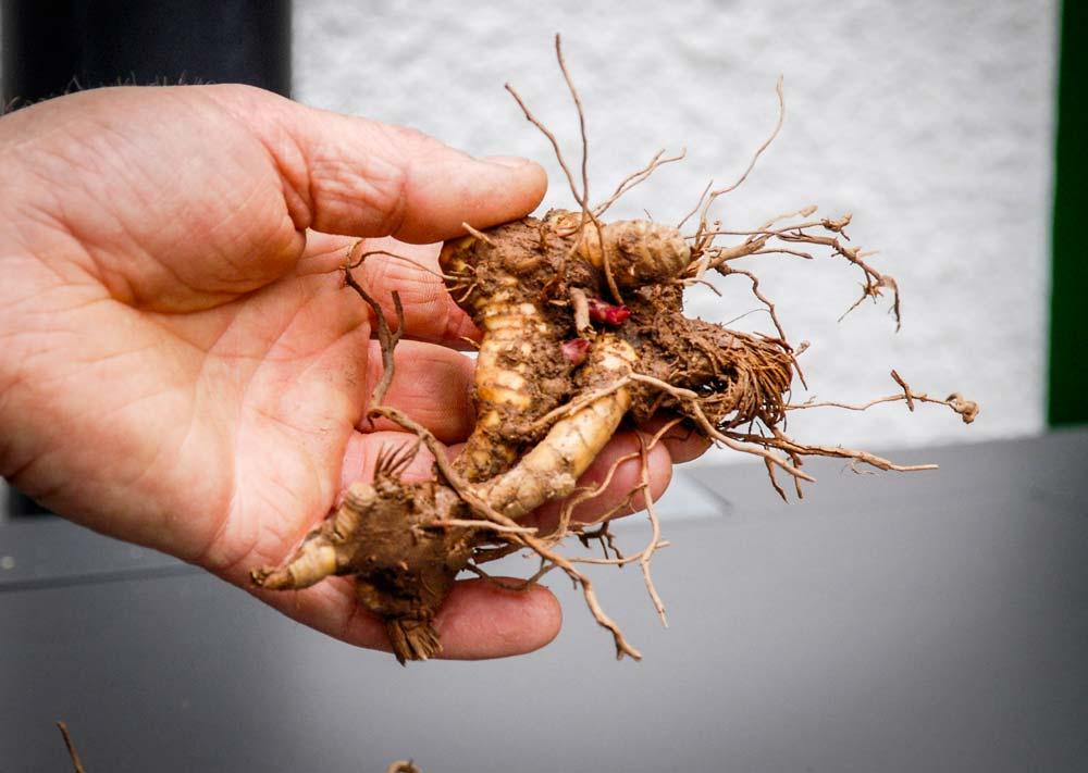 Rhizome de Miscanthus