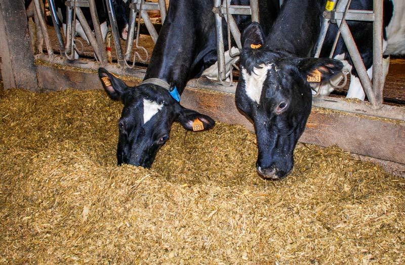 L'apport de graines de lin cuites permet d'augmenter la production jusqu'à 1,3 kg de lait en plus.