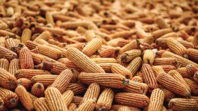 Photo of UE/États-Unis : le maïs visé par d'éventuelles rétorsions commerciales européennes