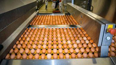 Photo of Vers une pénurie d'œufs ?