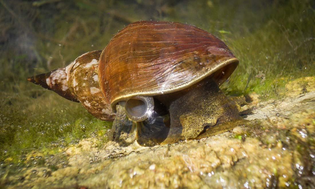 La grande douve utilise la limnée tronquée comme hôte intermédiaire.