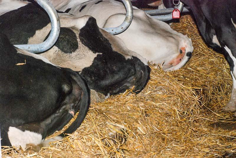 Une vache bien couchée: l'arrière de l'animal ne doit pas être avancé de plus de 20 cm par rapport au seuil. La pente de 3 à 5 % favorise la propreté des logettes.
