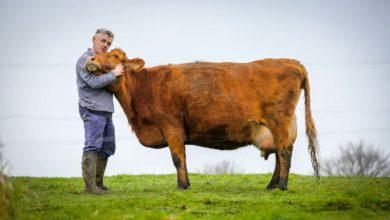 Photo of La vache Froment du Léon, 1er Prix National de l'agrobiodiversité animale 2018