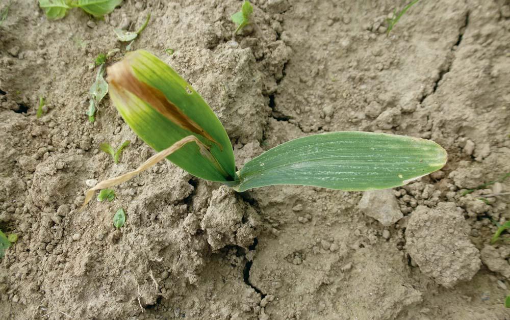 Le traitement de semences Sonido est la seule solution efficace pour lutter contre les dégâts de la mouche géomyze.