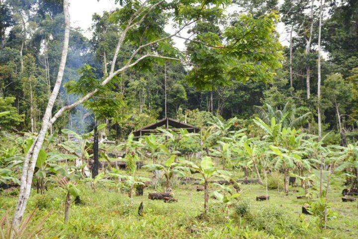 Un abatis, espace gagné sur la forêt par brûlis, où la production est mal maîtrisée.