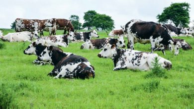 Le pâturage reste la clé pour la production de lait biologique. Certains pays, comme le Danemark, imposent une durée journalière d'accès à l'herbe.