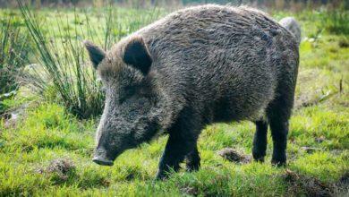 Photo of Peste porcine africaine : Renforcement des mesures de prévention