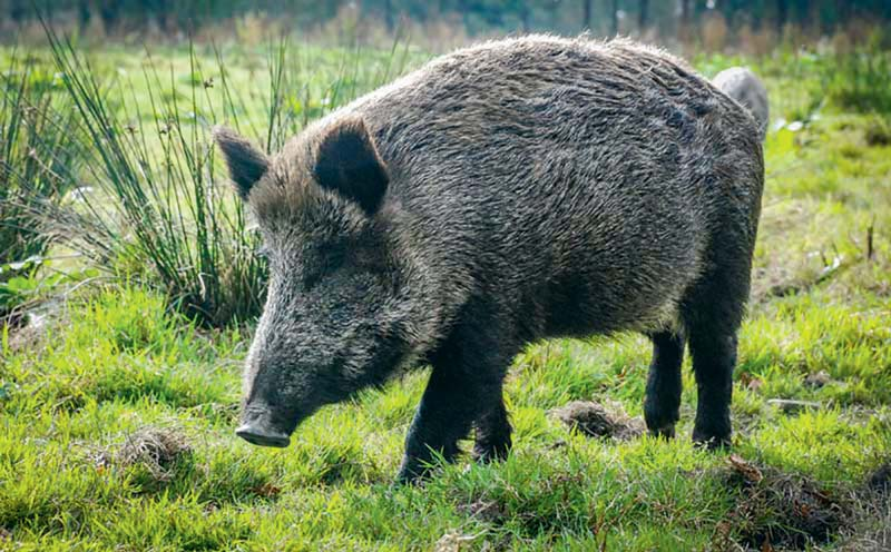 Autorisations de chasse des sangliers en mars journal - Comment cuisiner des cotes de sanglier ...