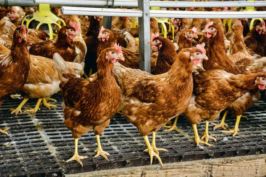 Pour répondre à la demande des consommateurs et des industriels, les éleveurs doivent se tourner prioritairement vers la production d'œufs plein air ou bio.
