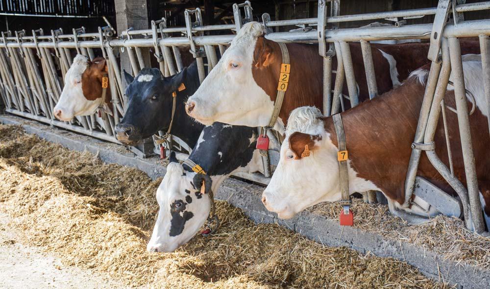La ration hivernale des «hautes productives» est basée sur 10 à 12 kg MS de maïs ensilage, 3 - 4 kg MS d'ensilage d'herbe et 3 kg de luzerne déshydratée.