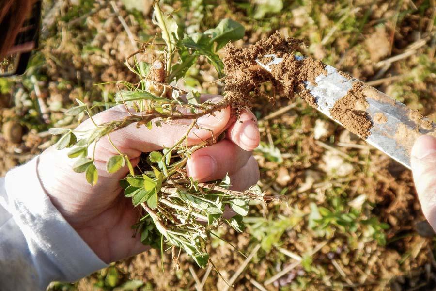 La luzerne présente un développement normal selon le choix de la parcelle, de la date de semis et des critères d'implantation.