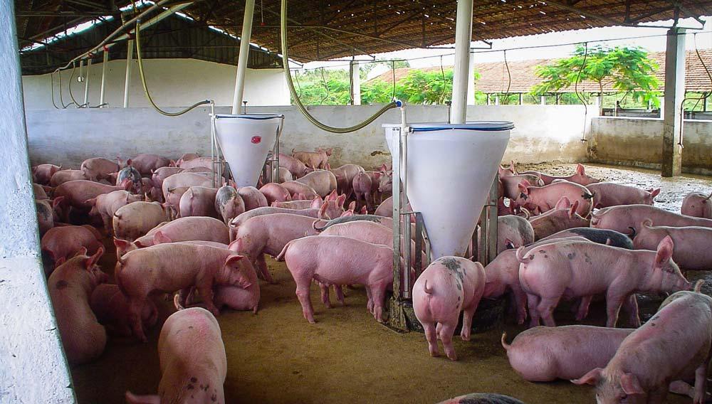 porc-bresil
