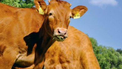 Photo of La Chine a faim de viande bovine
