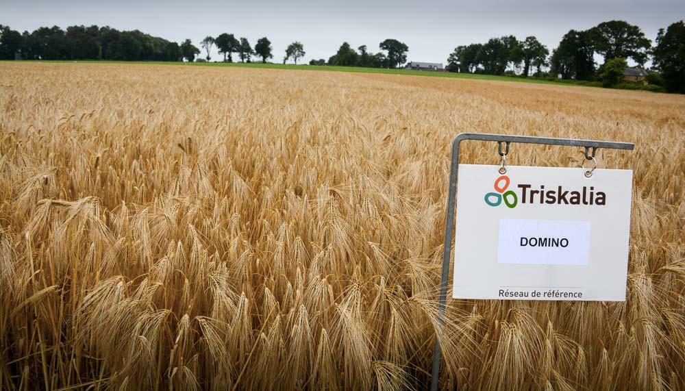 Concernant l'orge, la lutte agronomique peut également s'appuyer sur le choix de variétés tolérantes à la JNO, à l'image de la variété Domino.