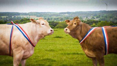Photo of Le bœuf français bientôt en Chine ?