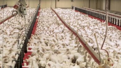 Photo of Bien-être animal : l'élevage avicole secoué une fois de plus par une vidéo de L214